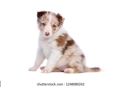 Red merle border collie puppy in front of a white background