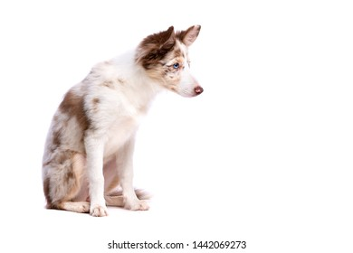 red merle border collie puppy sitting in front of a white background