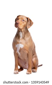 red merle Louisiana Catahoula Leopard dog in front of a white background