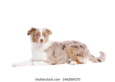 red merle Miniature American Shepherd in front of a white background