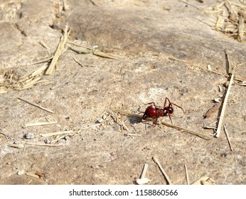 Red Mexican ant , Atta mexicana