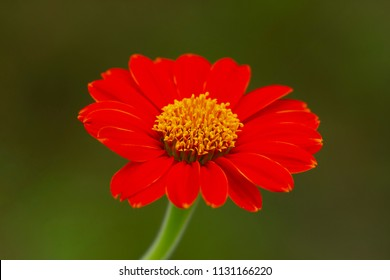 Red mexican flower on green background