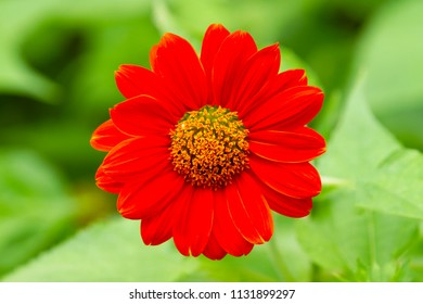 Red mexican sunflower on green background