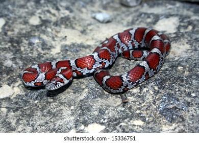 Red Milk Snake (Lampropeltis triangulum syspila)