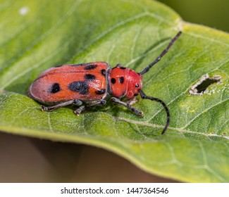 Red Milkweed Beetle eating common milkweed leaf and bloom or flower