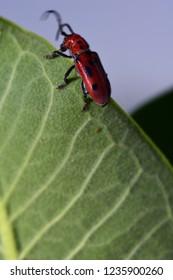 A red milkweed beetle at the top of a milkweed leaf.
