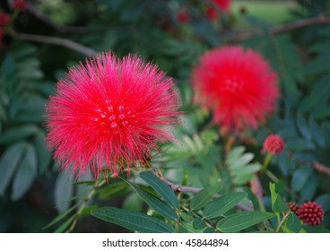 Red mimosa flowers, Florida, USA