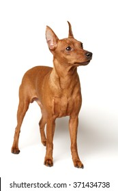 Red Miniature Pinscher isolated on white background