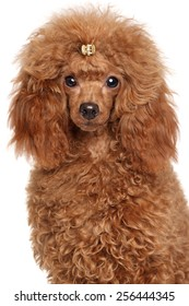 Red Miniature poodle. Close-up portrait on a white background