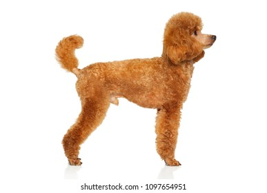Red Miniature Poodle in stand on white background. Animal themes