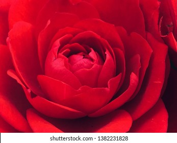 The Red Miniture Rose bloom