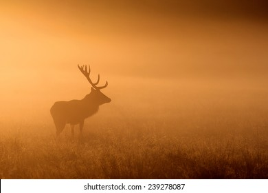 Red Mist, a large red deer standing in the early morning fog