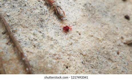Red mite. Acari