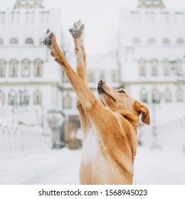 red mixed breed dog holding paws in the air outdoors