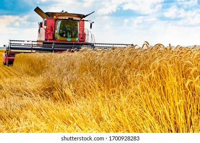 A red modern farmer combine harvests yellow wheat in a field against a blue sky with clouds. Agricultural work.