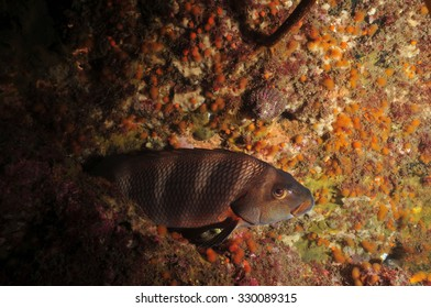 Banded Morwong Images, Stock Photos & Vectors   Shutterstock