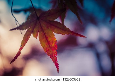 Red momiji maple leaf during sunset