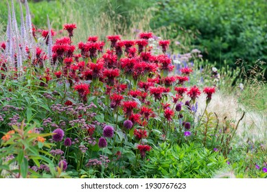 Red monarda is found in a flower garden of natural perennials along with onions, oregano and others.