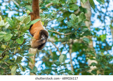 Red monkey hanging from the tree limb looking directly at the camera
