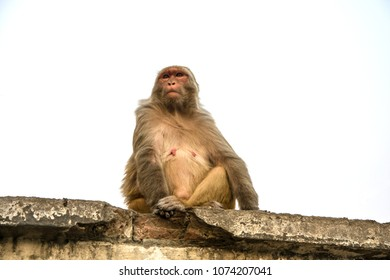 Red monkey sitting on a stone slab on a white background.