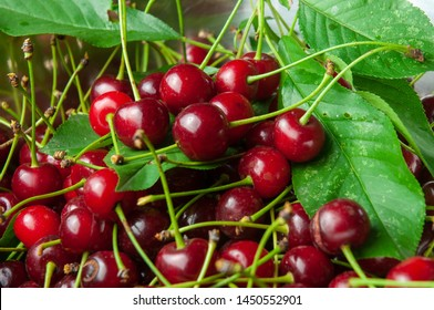 red morello cherries lying in a bowl together with green leaves after been harvested
