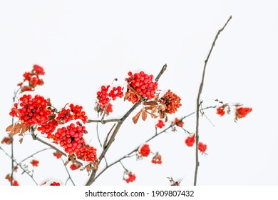 Red mountain ash berries covered in snow