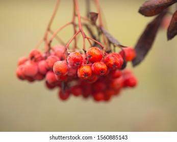 Red mountain ash in the fall, beautiful and healthy berries