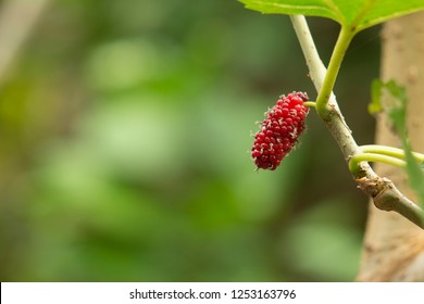 Red MulBerry on mulberry tree with selective focus