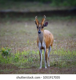 Red Muntjac (Muntiacus muntjak), male barking deer with beautiful horns, in natural habitat of Asian tropical forest at Khao Yai National Park, Thailand. Lovely wild animal in nature.