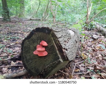 Red mushroom on a tree