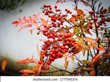 Red nantica domestica on the tree.