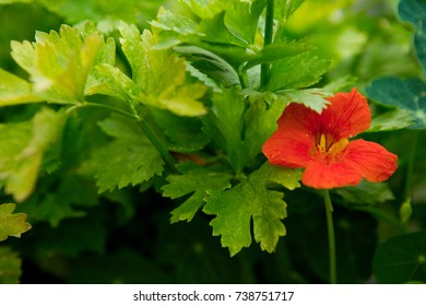 Red Nasturtium flower against the green foliage of celery.