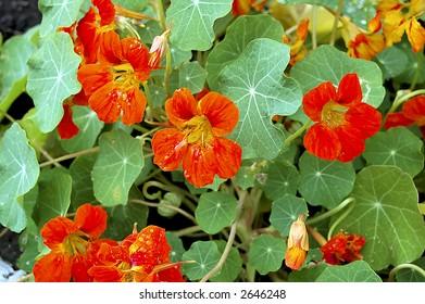 red nasturtium on the flowerbed, macro