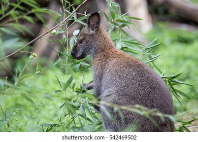 A red necked wallaby or Bennett's wallaby, Macropus rufogriseus, eating in the vegetation. The term wallaby is an informal designation generally used for species smaller than a kangaroo