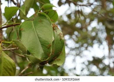 Red ant's nest or ant's haunt made of leaf