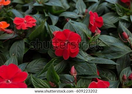 Red New Guinea Impatiens Flowers Dark Stock Photo Edit Now