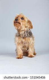 Red norfolk terrier dog isolated against grey background. Studio portrait.