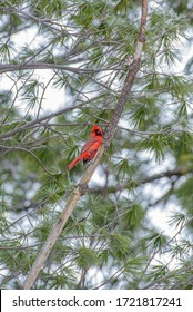 Red Northern Cardinal bird perched on branch of evergreen tree on spring day