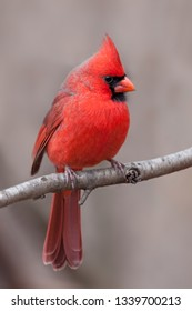 A red northern cardinal profiled on a branch. His tufted crest  and brillant breast feathers are in full display against a tan forest background.