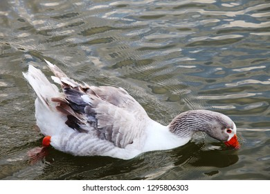Red nose duck swimming at lake