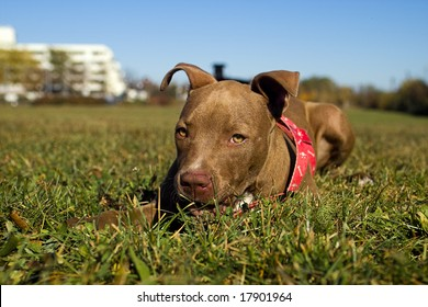 A Red Nose Pitbull Puppy Looking In The Camera