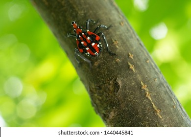Red nymph spotted lanternfly, Berks County, Pennsylvania