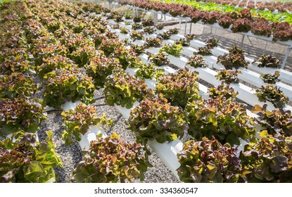 Red oak and Red Coral, Hydroponics method of growing plants using mineral nutrient solutions, in water, without soil. Close up planting hand Hydroponics plant