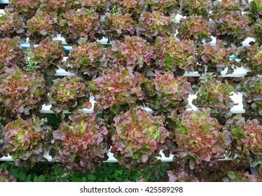 red oak hydroponic