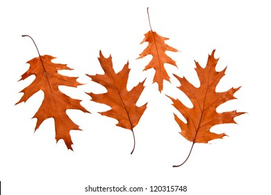 Red oak leaves on a white background