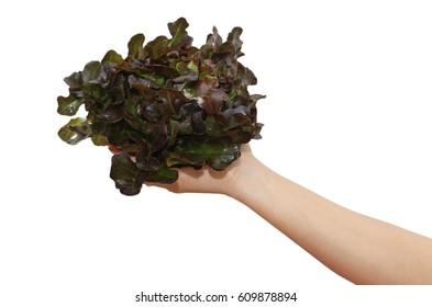 Red oak lettuce in hand on white background