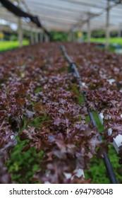 Red oak salad