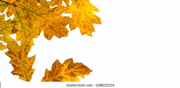 Red oak tree autumn foliage on white background. Macro view, shallow depth of field