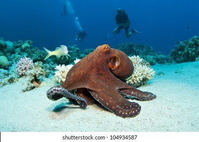 Red Octopus on coral reef in the Red Sea in clear blue water
