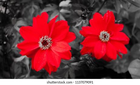 Red on Black Dhalia